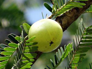 Amla-for-heartburn-acidity-home-remedy