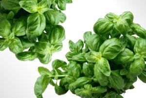 basil-herbs-for-heartburn-acidity-home-remedy