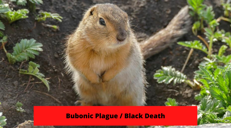Bubonic Plague or Black Death Wikipedia, Cause, Symptoms, Treatment