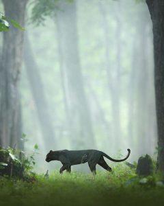 Black Panther in Karnataka