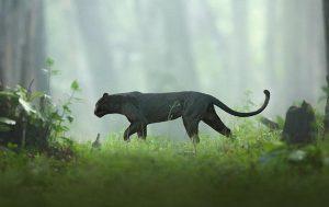 bagheera black panther in karnataka jungle