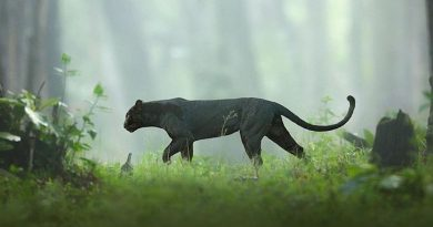 bagheera black panther in karnataka jungle